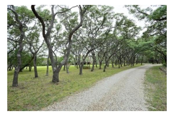 Oak Tree Canopy -- The Road to Ranch House